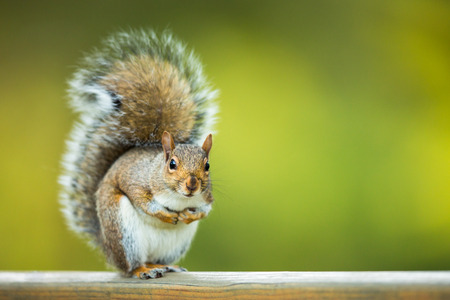 Oost-Grey Squirrel (Sciurus carolinensis) Stockfoto