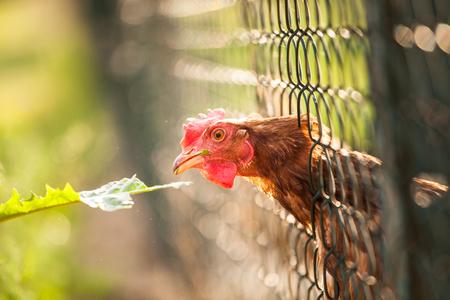 domesticus: Hen in a farmyard (Gallus gallus domesticus)