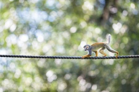 sciureus: Common Squirrel Monkey