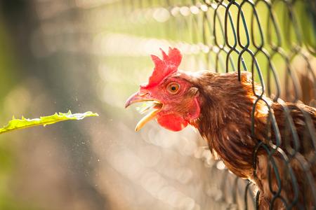 keep an eye on: Hen in a farmyard (Gallus gallus domesticus)