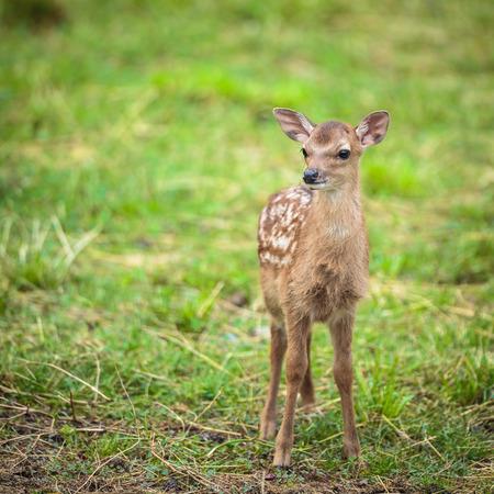 sika deer: Little sika deer