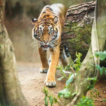 Gros plan d'un tigre de Sibérie aussi connu sous le tigre de l'Amour (Panthera tigris altaica), le plus grand chat vivant