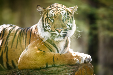 siberian tiger: Closeup of a Siberian tiger also know as Amur tiger (Panthera tigris altaica), the largest living cat