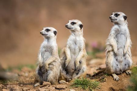 Watchful meerkats standing guard Stock Photo