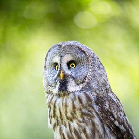 tawny owl: Close up of a Tawny Owl (Strix aluco) in woods Stock Photo