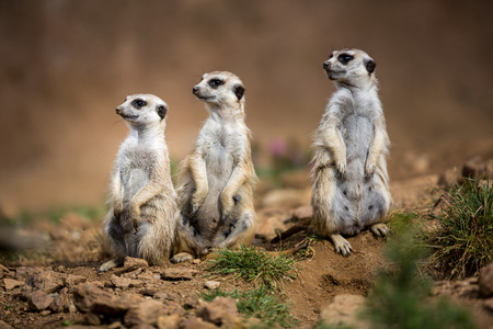 face guard: Watchful meerkats standing guard Stock Photo