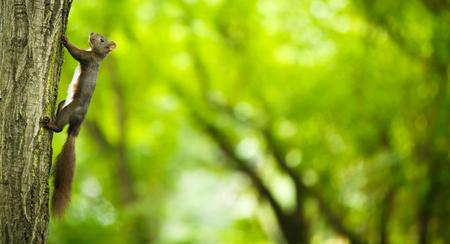 lurk: Closeup of a red squirrel (Sciurus vulgaris) Stock Photo