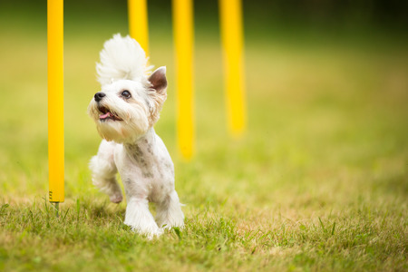 ear: Cute little dog doing agility drill - running slalom, being obediend and making his master proud and happy
