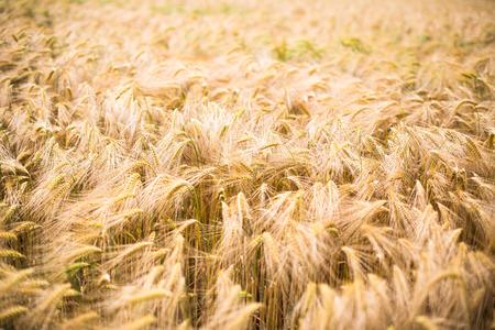 maiz: Ripe barley (lat. Hordeum)
