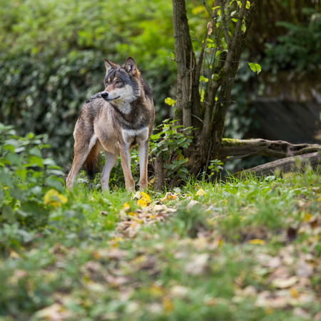 timber wolf: GrayEurasian wolf (Canis lupus) Stock Photo