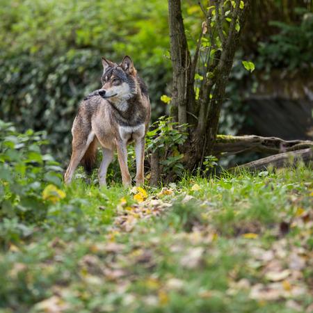 Grijs  Euraziatische wolf (Canis lupus) Stockfoto