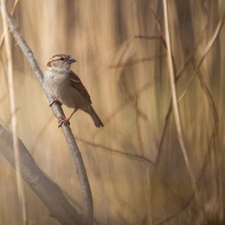 endothermic: House Sparrow (Passer domesticus)