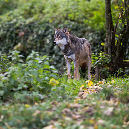 lobo feroz: Gris  Lobo eurasiático (Canis lupus)