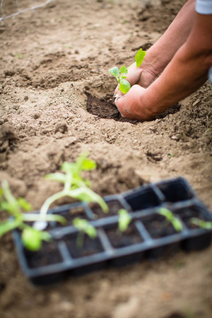 Hands of  a man planting his own vegetable garden Stock Photo