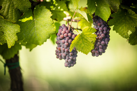 grape vines: Large bunches of red wine grapes hang from an old vine in warm afternoon light Stock Photo