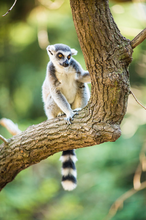 beautiful couple: Lemur kata (Lemur catta) Stock Photo