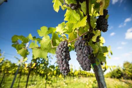 Large bunches of red wine grapes hang from an old vine in warm afternoon light Foto de archivo