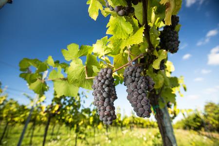 Große Bündel Rotweintrauben hängen von einem alten Weinstock in warmen Nachmittag Licht Standard-Bild - 50111077
