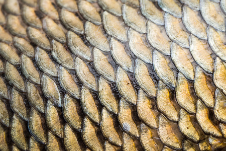 caudal: Carp fish scales grunge texture back ground