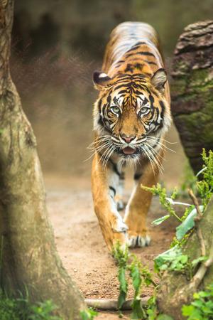 panthera tigris: Closeup of a Siberian tiger also know as Amur tiger (Panthera tigris altaica), the largest living cat