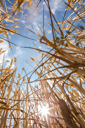 crop harvest: Wheat field against lovely summer blue sky with clouds