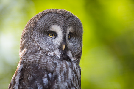 tawny: Close up of a Tawny Owl (Strix aluco) in woods Stock Photo