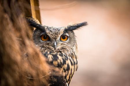 Closeup of a Eurasian Eagle-Owl (Bubo Bubo) Фото со стока