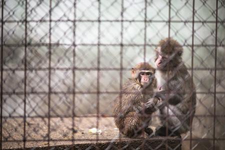 Sad monkeys behind bars in captivity Stock Photo