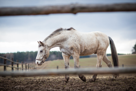 gelding: White horse in a corral
