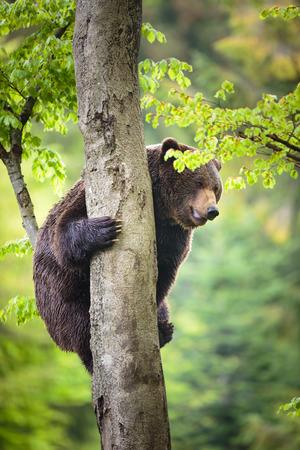 arctos: Brown bear (Ursus arctos), climbing