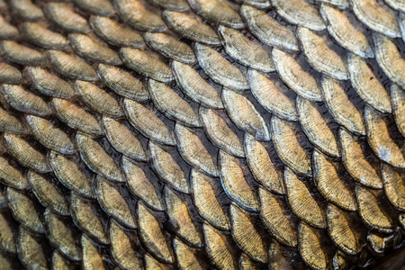 caudal fin: Carp fish scales grunge texture back ground