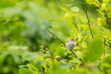 passer by: House Sparrow (Passer domesticus) on a branch against lush green leafy background (shallow DOF)