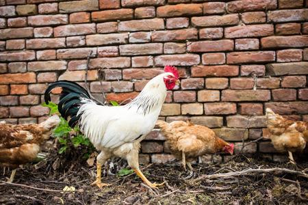 domesticus: Hens in a farmyard (Gallus gallus domesticus)