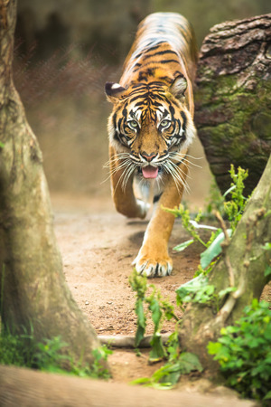 largest: Closeup of a Siberian tiger also know as Amur tiger (Panthera tigris altaica), the largest living cat