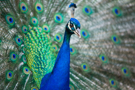 blue peafowl: Splendid peacock with feathers out (Pavo cristatus) (shallow DOF; color toned image)