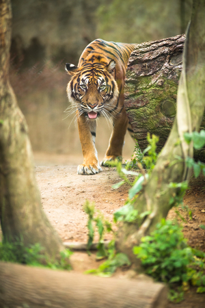felid: Closeup of a Siberian tiger also know as Amur tiger (Panthera tigris altaica), the largest living cat