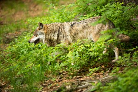 GrayEurasian wolf (Canis lupus) Stock Photo