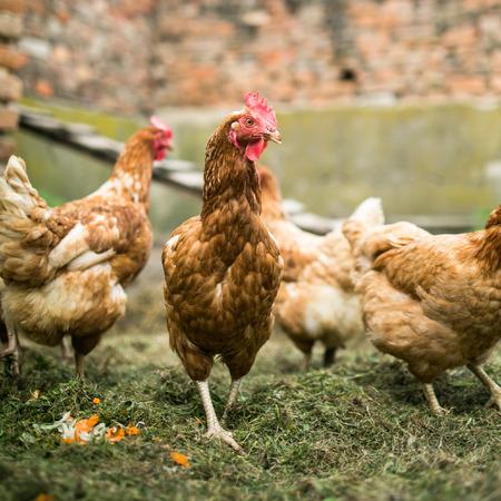 farmyard: Hens in a farmyard (Gallus gallus domesticus)