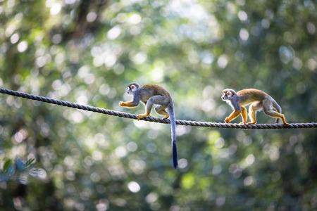 sciureus: Common Squirrel Monkey (Saimiri sciureus; shallow DOF)
