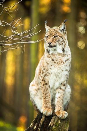 lince: Lince eurasiático (Lynx lynx)