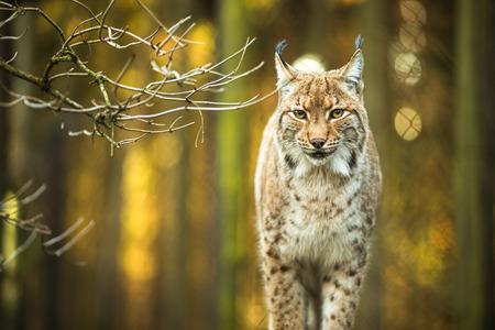 Eurasischer Luchs (Lynx lynx) Standard-Bild - 64321961