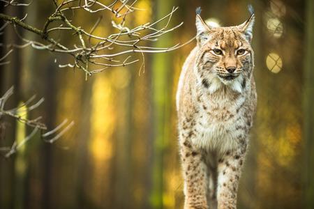 the lynx: Eurasian Lynx (Lynx lynx)