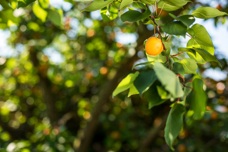 Apricot tree with fruits growing in the garden Stock Photo - 64322082
