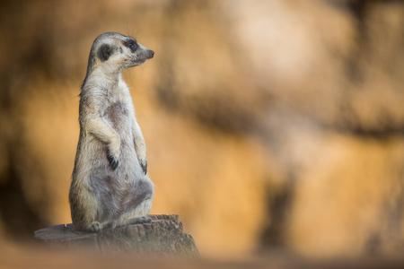 Watchful meerkat standing guard Stock Photo
