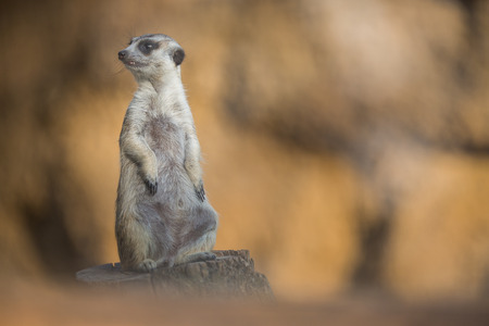 life guard stand: Watchful meerkat standing guard Stock Photo