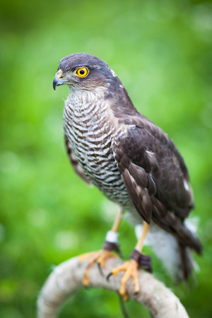 eurasian: Eurasian sparrowhawk Stock Photo
