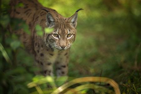 유라시아 Lynx (Lynx lynx) 스톡 콘텐츠