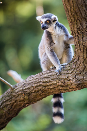 plunder: Lemur kata (Lemur catta) Stock Photo
