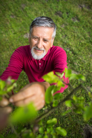 Portrait of a senior man gardening in his garden (color toned image) - checking the state of his orchard fruit trees