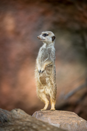 adapted: Watchful meerkat standing guard Stock Photo